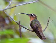Balança-rabo-canela (Glaucis dohrnii)