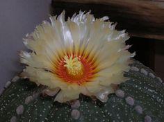 Astrophytum asterias . . .
