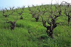 100年近い樹齢のジンファンデル。幹の直径は30センチ前後もある