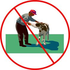 How Not To Feed a Baby Cow. There's a wrong way, and a right way, if you care about physical harm to you!
