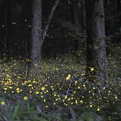 Synchronized Fireflies at Elkmont Back for Another Season http://www.visitmysmokies.com/blog/gatlinburg/events-gatlinburg/synchronized-fireflies-at-elkmont/  #smokymountains #elkmont #fireflies