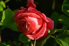 Mary Ann – ruusu   Vesan viherpiperryskuvat – puutarha kukkii