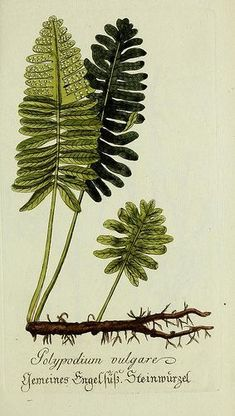 Plantarum indigenarum et exoticarum icones ad vivum coloratae, or, inn- collection from nature painted pictures and ausländlischer plants, for lovers of Botany Vintage Botanical Prints, Botanical Drawings, Botanical Art, Botanical Gardens, Botany Illustration, Illustration Botanique, Merian, Nature Prints, Illustrations
