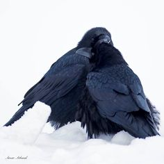 Two Ravens keeping warm or keeping company during a cold morning north part of Banff National Park. Amar