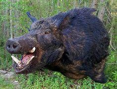 Boar mount, taxidermy Hog Hunting, Crossbow Hunting, Wild Hogs, Taxidermy Display, Deer Mounts, Trophy Rooms, Antler Art, Hippopotamus, Antlers