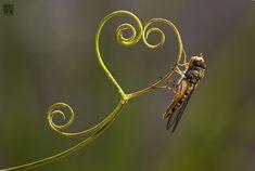A heart for you....! https://www.facebook.com/yasirwildlifephotographer/ https://twitter.com/YasirMehmood554 #wildlife #wild #leaf #plant #green #Feeling #frame #tiny #lights #bug #closeup #macro #Nature #glowing #balance #friendship #beauty #wildnature #photography #beautyofnature #explore_wildlife #arte_of_nature #camouflage #cute #YasirMehmood #YasirWildlifePhotographer #Yasir #YasirPhotography