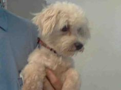 This DOG-ID#A4721452  I am described as a female, white Poodle - Miniature mix  The shelter thinks I am about 8 years old.  I have been at the shelter since Jun 14, 2014. Back For more information about this animal, call: Los Angeles County Animal Control - Baldwin Parkat(626) 962-3577 Ask for information about animal ID number A4721452