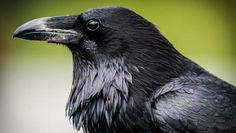 How smart are you about crows and ravens? MNN quiz | MNN - Mother Nature Network