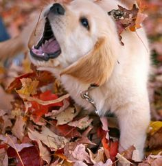 'Listen to me please! I want to play with the Autumn Leaves' ~ Adorable Little Baby Golden Retriever Puppy - Aww!