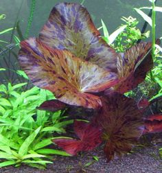 All INFO on how to grow and take care of Red Tiger Lotus in Aquariums