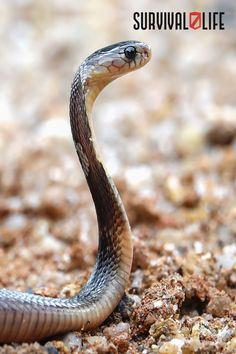 Knowing how to treat a snake bite can save lives. Less than 10 percent of venomous snake bites are lethal, but that does not mean the 90 percent are not dangerous. Here's a guide on how to do it properly. #snakebite #venomoussnakebite #snake #firstaid #survivalskills #survival #preparedness #survivallife Survival Life, Wilderness Survival, Survival Skills, Types Of Snake, Snakebite, The Venom, Snake Venom, Close Encounters, Save Life