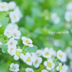 #スイートアリッサム #sweet alyssum#flower