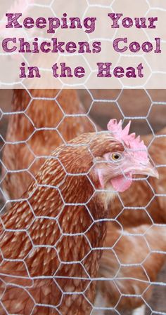 Keeping Your Chickens Cool in the Heat :: Five Little Homesteaders