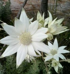 10 Fresh Seeds w/Instructions Actinotus helianthi is commonly called Flannel Flower due to the soft woolly feel of the plant. Australian Wildflowers, Australian Native Flowers, Australian Plants, Australian Bush, Unusual Flowers, Rare Flowers, White Flowers, Beautiful Flowers, Herbaceous Perennials