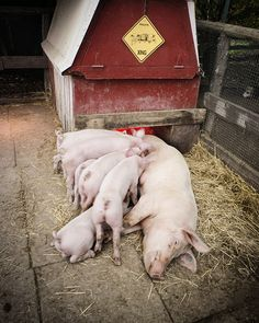 mama pig and piglets