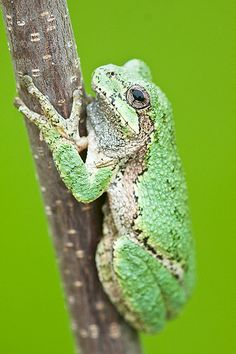 _MG_1755 - Eastern gray tree frog. ©Jerry Mercier
