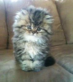 golden shaded persian.  I bet this is what Paddy looked like when he was a baby.  I got him when he was almost 8 months old so I never knew him as a wee baby.
