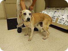 Rome, GA - Hound (Unknown Type)/Labrador Retriever Mix. Meet 15D-1507 (9/1), a dog for adoption. http://www.adoptapet.com/pet/13728940-rome-georgia-hound-unknown-type-mix