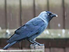 Northamptonshire Birding: June 2014 Louise Erdrich, Jackdaw, Crows Ravens, Birdwatching, Tattoo Inspiration, June, Birds, Blog, Ravens