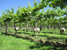 Fancy grape picking for the winner of the Best UK Wine 2013? Nutbourne (Sussex) are looking for volunteers.
