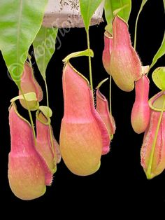 Carnivor. Pitcher Plant. Nepenthes Coccinea
