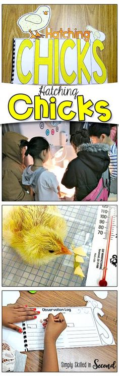 Hatching Chicks in the Classroom! Hatching Chicks in the classroom is an amazing experience for students to learn from and enjoy! Check out some fun videos and activities on Hatching Chicks! Classroom Pets, Primary Classroom, Kindergarten Teachers, Science Classroom, Elementary Science, Primary Teaching, Elementary Teaching, Future Classroom, Second Grade Science