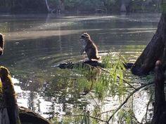 A Racoon Rides An Alligator