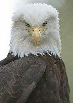 Bald Eagle of Prey From Pin Board Pretty Birds, Love Birds, Beautiful Birds, Animals Beautiful, Cute Animals, Eagle Animals, Wild Animals, Beautiful Pictures, Rapace Diurne