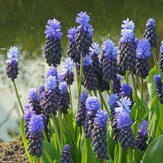 Die zweifarbige Traubenhyazinthe Muscari latifolium wächst auch an feuchten Standorten - am Rand eines Teiches oder Wasserbeckens. Blüte im Frühling, Pflanzzeit im Herbst - online bestellbar bei www.fluwel.de