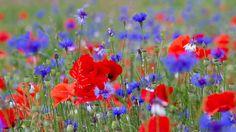Скачать обои Flores,  Papoilas,  natureza,  verão бесплатно для рабочего стола в любом разрешении 728x768 — картинка №568019