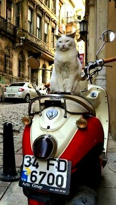 Cute fluffy cat on a Vespa in Rome, Italy. Click here to see more pictures of cats in Rome: http://www.traveling-cats.com/search/label/Rome (posing cat, fluffy cat, cute cat, Vespa, Rome, Italy)