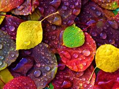 Multi-Colored Aspen Leaves with Rain Drop by Russell Burden. Photographic print from Art.com.