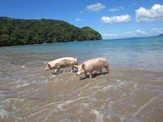 These beautiful pigs enjoying the beach@Playa Puerto Viejo, Guanacaste. Visit berkshirecr.com #costarica #costaricarealestate #playaflamingorealestate #tamarindo #tamarindorealestate #puravida #costaricavacationhomes #costaricahomesforrent #costaricarentals #costaricaretirement #buyingproperty #paradise #guanacaste #puertoviejo
