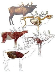 Responsible hunting, game management and wildlife conservation are important aspects of any wild game hunting, but many find the challenge of deer hunting to be the most challenging. Here are some ideas and deer hunting tips to make y Elk Hunting Tips, Moose Hunting, Big Game Hunting, Hunting Rifles, Archery Hunting, Hunting Season, Deer Hunting, Hunting Stuff, Animal Games