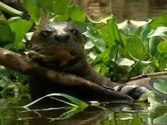 loutre amazon rainforest french guiana #amazon more info http://www.braziltravelbeaches.com