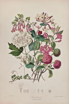 Elizabeth Twining ~ Illustrations of the Natural Order of Plants: The Honeysuckle Tribe, 1849, 1855