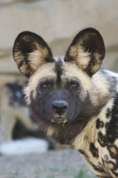 Nature Animals, Animals And Pets, African Wild Dog, Cute Wild Animals, Wild Dogs, Husky, Wildlife, Creatures, Artwork