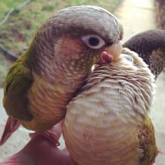My beautiful green cheek conures are enjoying a nice preening session outside. By: Annie Gavin #conure #parrot