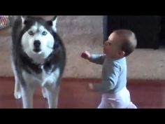 Kudos to the people who bred the husky: a big, beautiful, tough dog that's an expert hunter and yet gentle enough to be great with children. Here, a husky and a baby have a I Love Dogs, Cute Dogs, Cute Babies, Animals And Pets, Funny Animals, Cute Animals, Baby Singing, Mundo Animal, Mans Best Friend