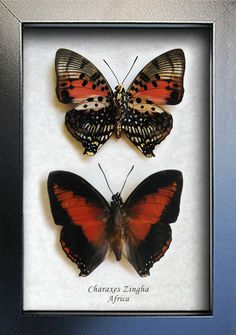 Set Red Heart Charaxes Zingha Real African Butterflies In Shadowbox by ButterfliesArtist on Etsy