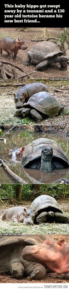 Baby hippo and 130 year old tortoise become best friends.  So, so sweet!