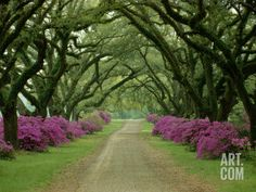 A Beautiful Pathway Lined with Trees and Purple Azaleas, by Sam Abell