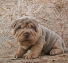 Lilac and Tan Pointed Shar Pei
