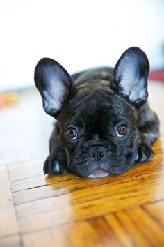 12 Reasons Why You Should Never Own French Bulldogs