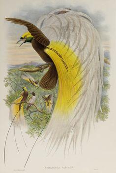 Papuan Bird of Paradise Painting Frames, Painting Prints, Paintings, Paradise Painting, John Hart, John Gould, Prehistoric Creatures, Bird Illustration, Vintage Birds
