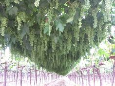 Overhead Trellis System for Raisin Grapes in San Joaquin Valley,CA. Canes are cut and the grapes are Dried on Vine(DOV) before harvest.