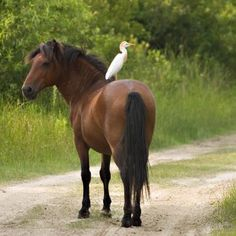 As of September, 2012, there are officially 121 wild horses in the Currituck Outer Banks North Carolina area.