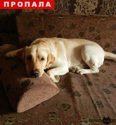 Пропала собака кобель лабрадор, друг семьи г.Севастополь http://poiskzoo.ru/board/read26815.html  POISKZOO.RU/26815 .. в р-не Океан была украдена собака лабрадор по имени Барон, возможно сам отвязался. полевой окрас, коричневый ошейник и поводок. Звонить по любой информации. Спасибо  РЕПОСТ! @POISKZOO2 #POISKZOO.RU #Пропала #собака #Пропала_собака #ПропалаСобака #Севастополь