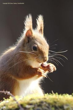 Red Squirrel by Steve Deeley