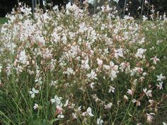 Plant Library Entry for Gaura lindheimeri /Gaura, White Gaura. Get detailed information about this plant here. White Flowers, Beautiful Flowers, Perennials, Backyard, Exterior, Landscape, Plants, Gardening, Patio